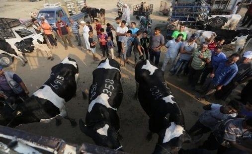 الأضاحي غزة