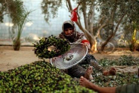 الزراعة بغزة: انخفاض إنتاج الزيتون للموسم الحالي بنسبة 65%