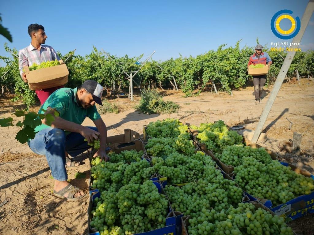 العنب اللابذري غزة
