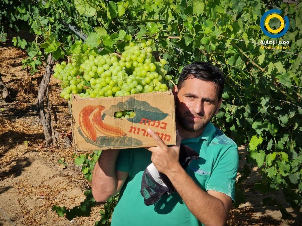 العنب اللابذري يتلألأ بكروم غزة رغم انخفاض انتاجيته العام الحالي